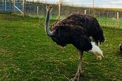 Ostrich @ Little Rowater