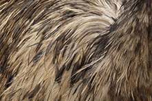 Emu Feathers @ Little Rowater